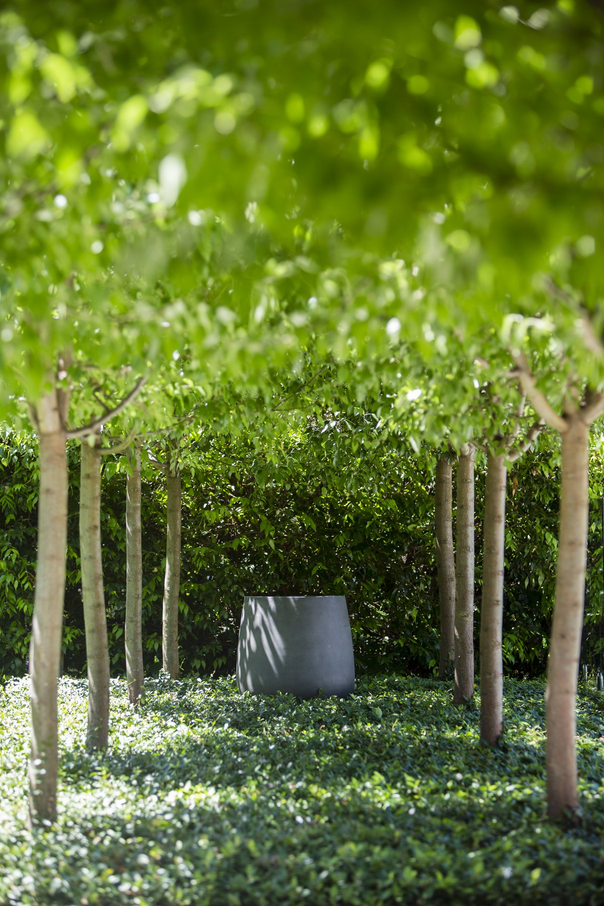 Pleached Pyrus trees with Trachelospermum asiaticum groundcover with a feature urn