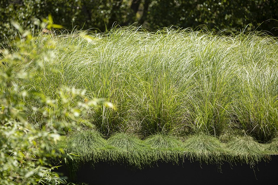 Greenroof with Miscanthus grass
